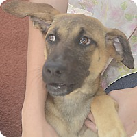 Shepherd (Unknown Type) Mix Puppy for adoption in St. Thomas, Virgin Islands - Myla