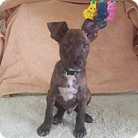 Adopt A Pet :: Frank - sweet puppy - Seattle, WA