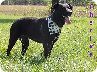 Labrador Retriever/Rottweiler Mix Dog for adoption in Bucyrus, Ohio - Charley