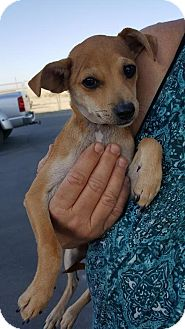 Italian Greyhound/Chihuahua Mix Puppy for adoption in Arlington, Washington - Bentley a 6 month old puppy