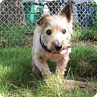 Cairn Terrier Mix Dog for adoption in Munster, Indiana - Theo