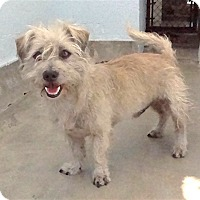 Terrier (Unknown Type, Small) Mix Dog for adoption in Pico Rivera, California - Cucumber