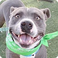 Pit Bull Terrier Dog for adoption in Las Vegas, Nevada - *PEDRO