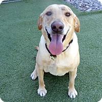 Adopt A Pet :: Sage - Towson, MD