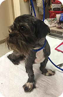 shih tzu rescue va va beach va shih tzu meet blaze a dog for adoption 6657