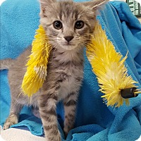 Domestic Shorthair Kitten for adoption in Lexington, Kentucky - Cornelius