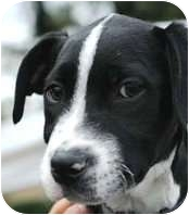 Boston Terrier Mix Dog for adoption in Houston, Texas - TIBBY