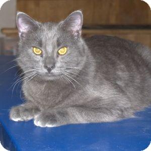 Domestic Shorthair Cat for adoption in Colorado Springs, Colorado - K-Hodnick3-Ashanti