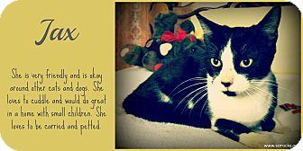 Domestic Shorthair Cat for adoption in San Antonio, Texas - Jax