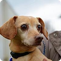 Adopt A Pet :: Caesar Hughes - Waldorf, MD