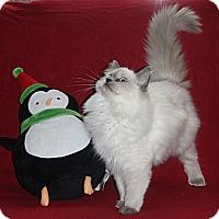 Adopt A Pet :: Callie - N. Berwick, ME