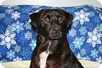 Labrador Retriever/Terrier (Unknown Type, Medium) Mix Dog for adoption in Savannah, Tennessee - Amos