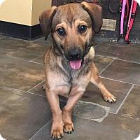 Adopt A Pet :: Menudo - Encino, CA
