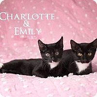 Domestic Shorthair Cat for adoption in Dallas, Texas - Emily