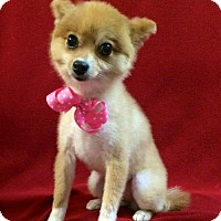Adopt A Pet :: Bootsie Maybelle - Thomspn, CT