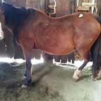 Adopt A Pet :: Shanti (Feedlot Mare) - Boone, CO