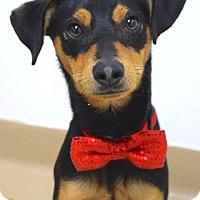 Adopt A Pet :: Coby - Dublin, CA