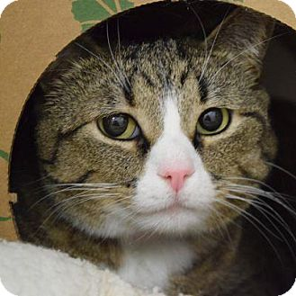 Domestic Shorthair Cat for adoption in Denver, Colorado - Nala