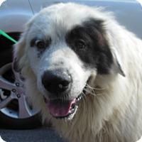 Adopt A Pet :: Forrest - Harrisonburg, VA