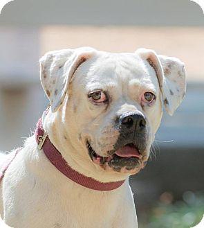 Boxer Mix Dog for adoption in San Diego, California - FRIDA