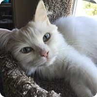 Ragdoll Cat for adoption in Long Beach, California - Ivory