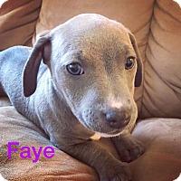 Adopt A Pet :: Faye - Concord, CA