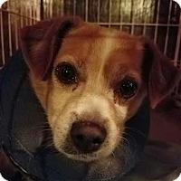 Pomeranian/Jack Russell Terrier Mix Dog for adoption in Fullerton, California - Mojo