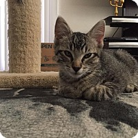 Domestic Shorthair Kitten for adoption in Oxnard, California - Corbin