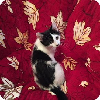 Domestic Shorthair Kitten for adoption in Colmar, Pennsylvania - Skipper