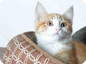 Domestic Mediumhair Kitten for adoption in Ukiah, California - JILL
