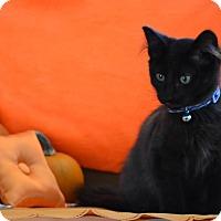 Adopt A Pet :: Sylvester - Manhattan, KS