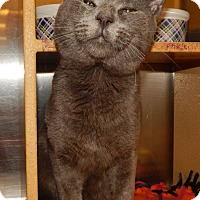 Adopt A Pet :: CONSTANTINE - BLUE LOVER! - Plano, TX