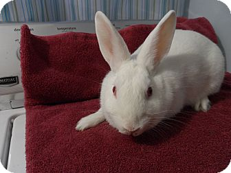 Netherland Dwarf Mix for adoption in Hillside, New Jersey - Sugar