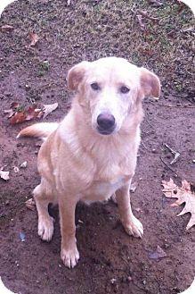 Labrador Retriever Mix Dog for adoption in Plainfield, Connecticut - Holly