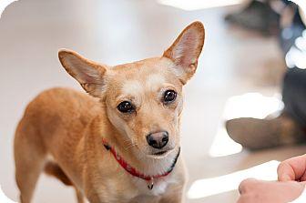 Basenji/Chihuahua Mix Dog for adoption in Appleton, Wisconsin - Bindy