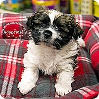 Adopt A Pet :: Boomer - Mesa, AZ