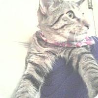 Adopt A Pet :: Razamataz - Sterling Hgts, MI