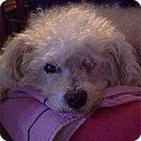 Adopt A Pet :: Papi - Seymour, CT