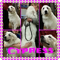 Great Pyrenees Dog for adoption in Newnan, Georgia - Cypress