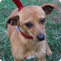 Adopt A Pet :: Red - Waldorf, MD