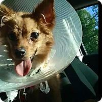 Adopt A Pet :: Pipa - Encino, CA