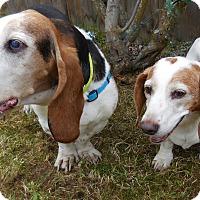 Adopt A Pet :: Daisy - Anchorage, AK
