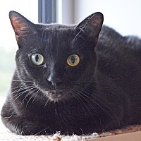Domestic Shorthair Cat for adoption in Lincoln, Nebraska - Sundance
