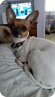 Chihuahua Dog for adoption in Simi Valley, California - Rita