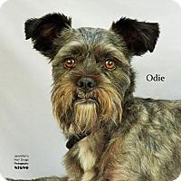 Adopt A Pet :: Odie - Spring, TX