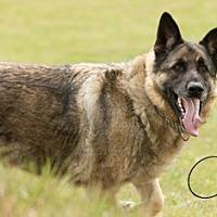 German Shepherd Dog Dog for adoption in Carlsbad Springs, Ontario - Chico