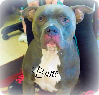 Pit Bull Terrier Dog for adoption in Defiance, Ohio - Bane