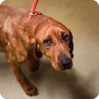 Redbone Coonhound Dog for adoption in Lovingston, Virginia - June
