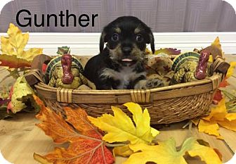 Chihuahua Mix Puppy for adoption in Shreveport, Louisiana - Gunther