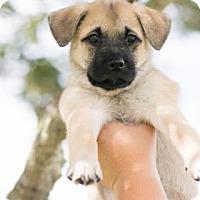 Adopt A Pet :: Pandora - Santa Fe, TX